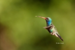 Broad-billed-Hummingbird;Cynanthus-latirostris;Flying-Bird;Hummingbird;One;actio
