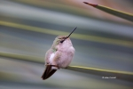 Annas-Hummingbird;Annas-Hummingbird;Calypte-costae;Female;Hummingbird;One;avifau