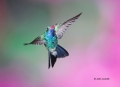 Broad-billed-Hummingbird;Hummingbird;Cynanthus-latirostris;Flying-bird;action;al