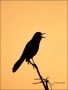Boat-tailed_Grackle