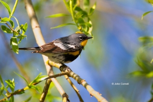 Dendroica-coronata;One;Yellow-rumped-Warbler;avifauna;bird;birds;color-image;col