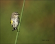 Yellow-rumped-Warbler;Warbler;Dendroica-coronata;one-animal;close-up;color-image