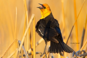 Blackbird;One;Xanthocephalus-xanthocephalus;Yellow-headed-Blackbird;avifauna;bir