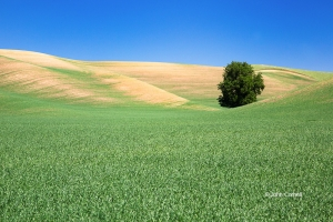 Palouse;Washington,-grass,-hills,-tree,-sky,-clouds,-scenic,-spring
