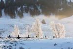 Cold;Frost;Frozen-Trees;Ice;Lamar-Valley;Scenic;White;Winter;Yellowstone-Nationa