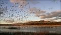 Bosque-del-Apache;Snow-Geese;Geese;Chen-caerulescens;Sunrise;Mountains;Scenic;Wa