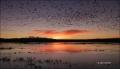 Snow-Goose;Bosque-del-Apache;Chen-caerulescens;Snow-Geese;Geese;Sunrise;Mountain
