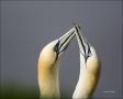 Gannet;Northern-Gannet;Morus-bassanus;Breeding-Behavior;Courtship;portrait;Two-a