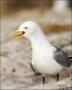 Kittiwake;Black-legged-Kittiwake;Rissa-tridactyla;Nest;portrait;one-animal;close