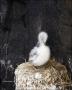 Kittiwake;Black-legged-Kittiwake;Rissa-tridactyla;Nest;Chick;one-animal;close-up