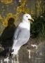Black-legged-Kittiwake;Kittiwake;Black-legged-Kittiwake;Rissa-tridactyla;one-ani
