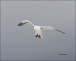Glaucous-winged-Gull;Gull;Larus-glaucescens;Japan;One;one-animal;avifauna;bird;b