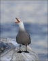 California;Heermanns-Gull;Gull;Southwest-USA;Larus-heermanni;Heermanns-Gull;port
