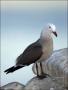 Heermanns-Gull;Gull;California;Larus-heermanni;one-animal;close-up;color-image;p