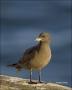 Heermanns-Gull;Gull;Juvenile;California;Larus-heermanni;one-animal;close-up;colo