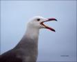 California;Southwest-USA;Heermanns-Gull;Heermanns-Gull;Larus-heermanni;portrait;