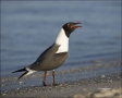 Gull;Flight;flying-bird;one-animal;close-up;color-image;photography;day;outdoors