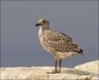 Herring-Gull;Gull;Larus-argentatus;Juvenile;One;avifauna;bird;birds;feather;feat