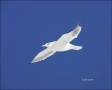 Gull;Flight;flying-bird;one-animal;close-up;color-image;photography;day;birds;an