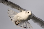 Gull;Larus-delawarensis;Ring-billed-Gull;flight