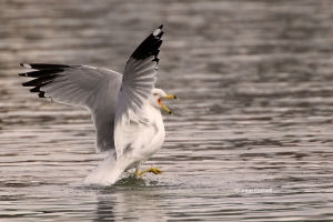 Flying-Bird;Gull;Larus-delawarensis;Photography;Ring-billed-Gull;action;active;a