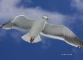 Larus-schistisagus;Gull;Slaty-backed-Gull;Flying-Bird;action;active;aerodynamic;
