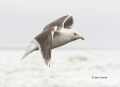 Gull;Larus-schistisagus;Slaty-backed-Gull;Flying-bird;action;aloft;behavior;flig