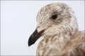 Slaty-backed-Gull;Larus-schistisagus;Gull;Japan;One;one-animal;avifauna;bird;bir