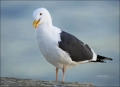 Gull;one-animal;close-up;color-image;photography;day;outdoors-Wildlife;birds;ani