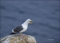 California;Southern;USA;Western-Gull;Gull;Larus-occidentalis;one-animal;close-up