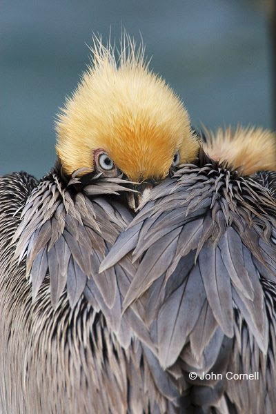 Brown Pelican;Pelican;Pelecanus occidentalis;Sleeping;One;one animal;avifauna;bird;birds;feather;feathered;outdoors;outside;untamed;wild;color;color photograph;daytime;close up;color image;photography;animals in the wild;feathers;wilderness;perch;perching;watching;watchful