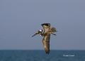 Brown-Pelican;Pelican;Florida;Southeast-USA;One;one-animal;avifauna;bird;birds;f