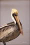 Brown-Pelican;Pelican;Pelecanus-occidentalis;portrait;one-animal;close-up;color-