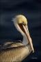California;Brown-Pelican;Pelican;Southwest-USA;Pelecanus-occidentalis;portrait;o