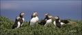 Puffin;Atlantic-Puffin;Fratercula-arctica;Panoramic;one-animal;close-up;color-im