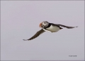 Puffin;Atlantic-Puffin;Flight;Fratercula-arctica;flying-bird;one-animal;close-up