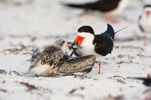 Black-Skimmer;Rynchops-niger;Skimmer;bond;bonding;chick;chicks;family;innocent;j