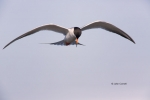 Fliying-Bird;Flying-Bird;Forsters-Tern;Forsters-Tern;Photography;Sterna-fosteri;
