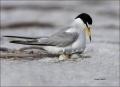 Least-Tern;Tern;Nest;Sterna-antillarum;Eggs;one-animal;close-up;color-image;nobo