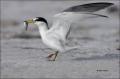 Least-Tern;Tern;Prey;Sterna-antillarum;one-animal;close-up;color-image;nobody;ph