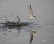 Least-Tern;Tern;Flight;Prey;Sterna-antillarum;flying-bird;one-animal;close-up;co