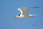 Animals-in-the-Wild;Flying-Bird;Photography;Royal-Tern;Sterna-maxima;Tern;action