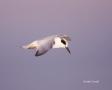 Tern;Flight;Sterna-forsteri;Forsters-Tern;Flying-bird;One-animal;Close-up;Color-