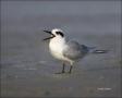 Forsters-Tern;Tern;Sterna-forsteri;feeding-behavior;one-animal;close-up;color-im