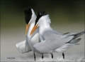 Royal-Tern;Tern;Breeding-Behavior;Sterna-maxima;one-animal;close-up;color-image;