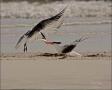 Tern;Royal-Tern;Breeding-Behavior;flying-bird;one-animal;close-up;color-image;no