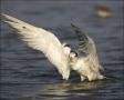 Royal-Tern;Tern;Florida;Southeast-USA;one-animal;close-up;color-image;nobody;pho