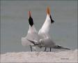 Royal-Tern;Tern;Breeding-Display;Breeding-Plumage;Breeding-Behavior;Sterna-maxim