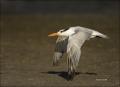 Royal-Tern;Tern;Sterna-maxima;flying-bird;one-animal;close-up;color-image;nobody