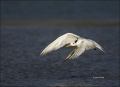 Royal_Tern